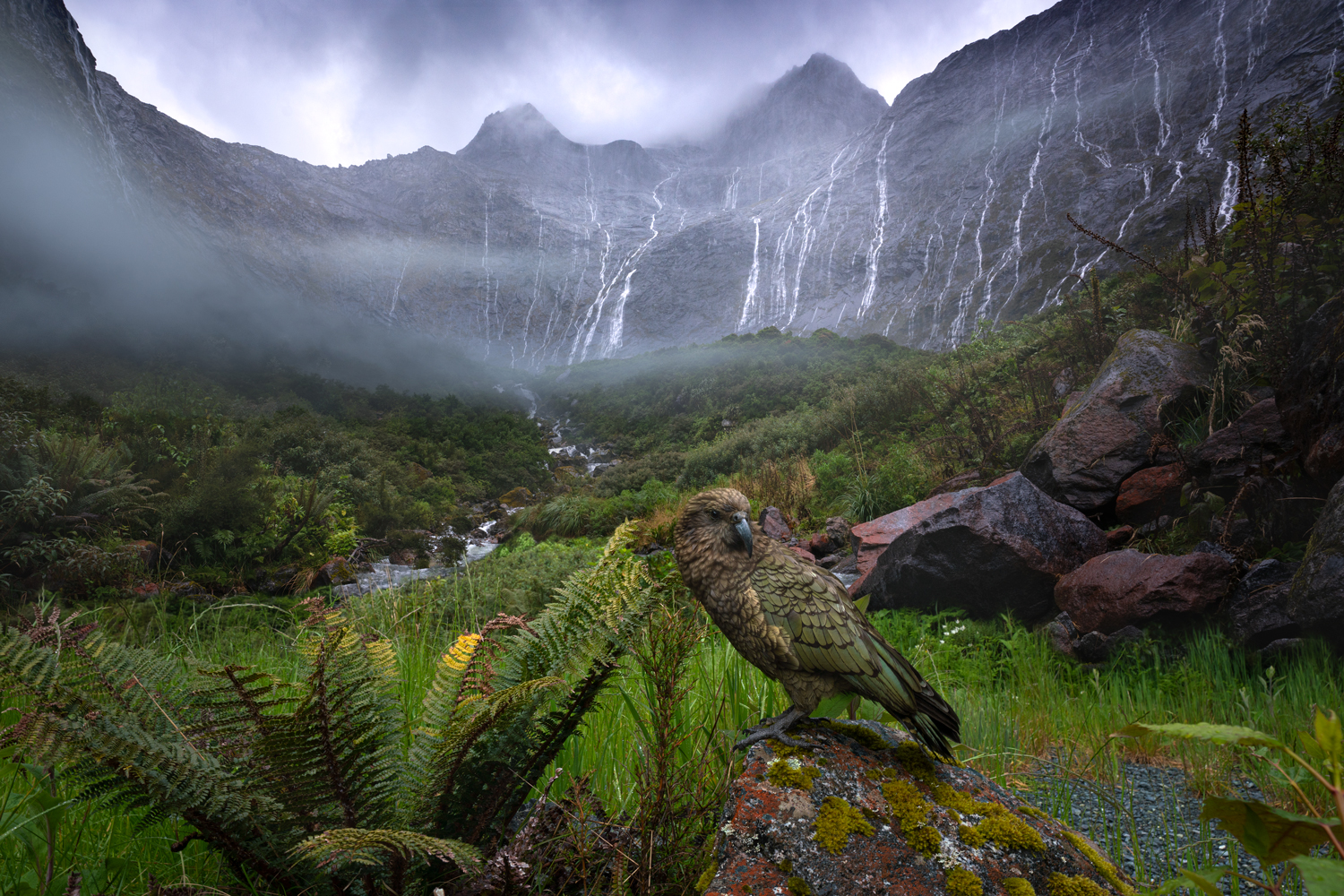 Wild Kea, Fiordland Copyright William Patino