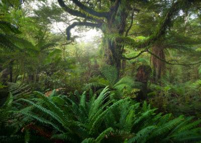 Fiordland beech forest, native, Copyright William Patino, New Zealand Landscape Photographer