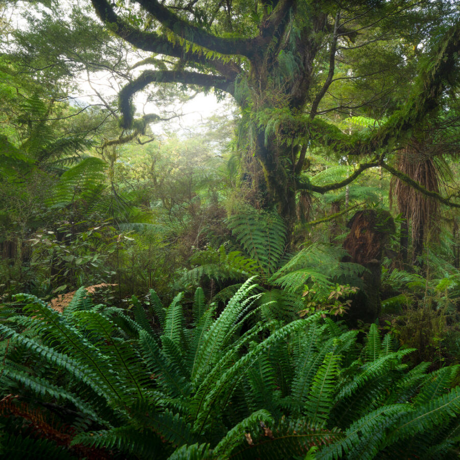 Fiordland beech forest, native, Copyright William Patino, New Zealand Landscape Photographer