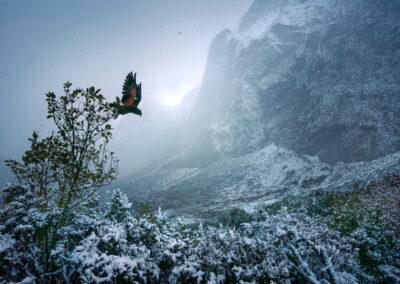 Wild Kea in winter, Fiordland