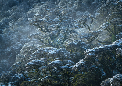 Snow covered beech forest New Zealand